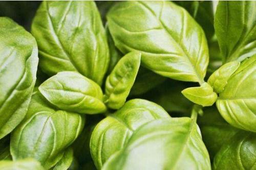 可做天然香料的植物有哪些?