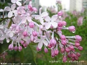 植物精油是什么