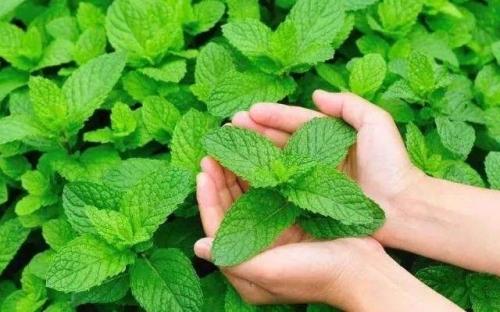 薄荷精油:减肥这四种植物精油